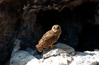 049 Galapagos - Genovese Island - Short-eared Owl - Jan 17 2011 115