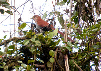 101 Ecuador - Bella Vista - may be squirrel cuckoo - Jan 26 2011 122