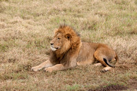 Lion - Tanzania - March 12 2014