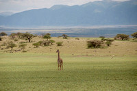 Giraffes - Tanzania - March 13 2014
