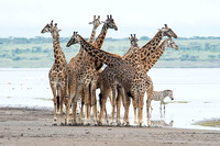 Giraffes - Tanzania - March 14 2014