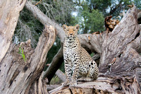 Leopard - Botswana - March 21 2014